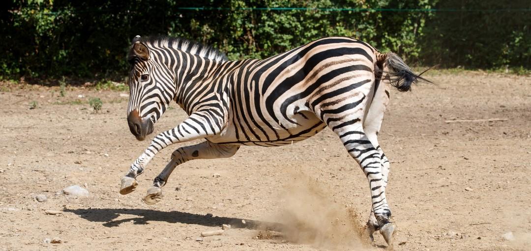 Iz kina k zebri, progasti prebivalki afriških savan